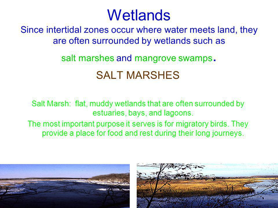 Wetlands Since intertidal zones occur where water meets land, they are often surrounded by wetlands such as salt marshes and mangrove swamps.