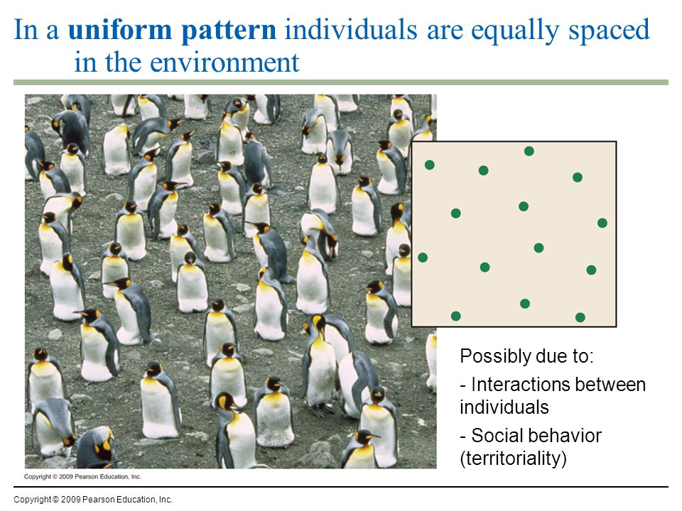 In a uniform pattern individuals are equally spaced in the environment