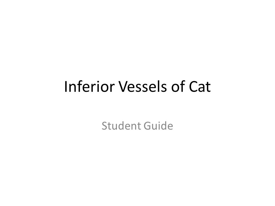 Inferior Vessels of Cat