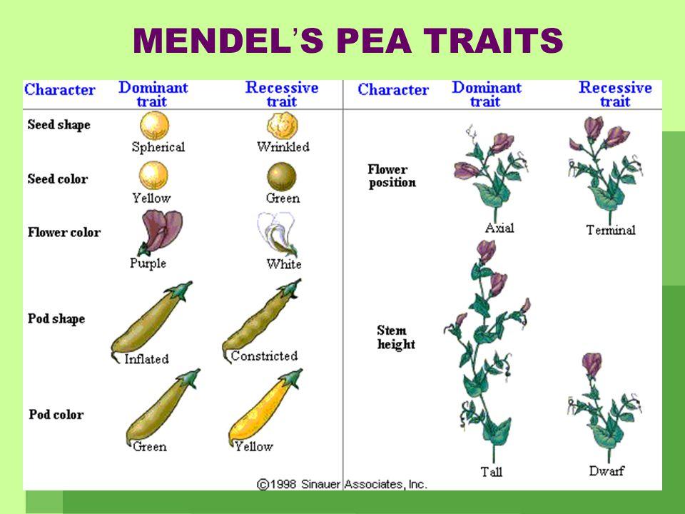 MENDEL'S PEA TRAITS