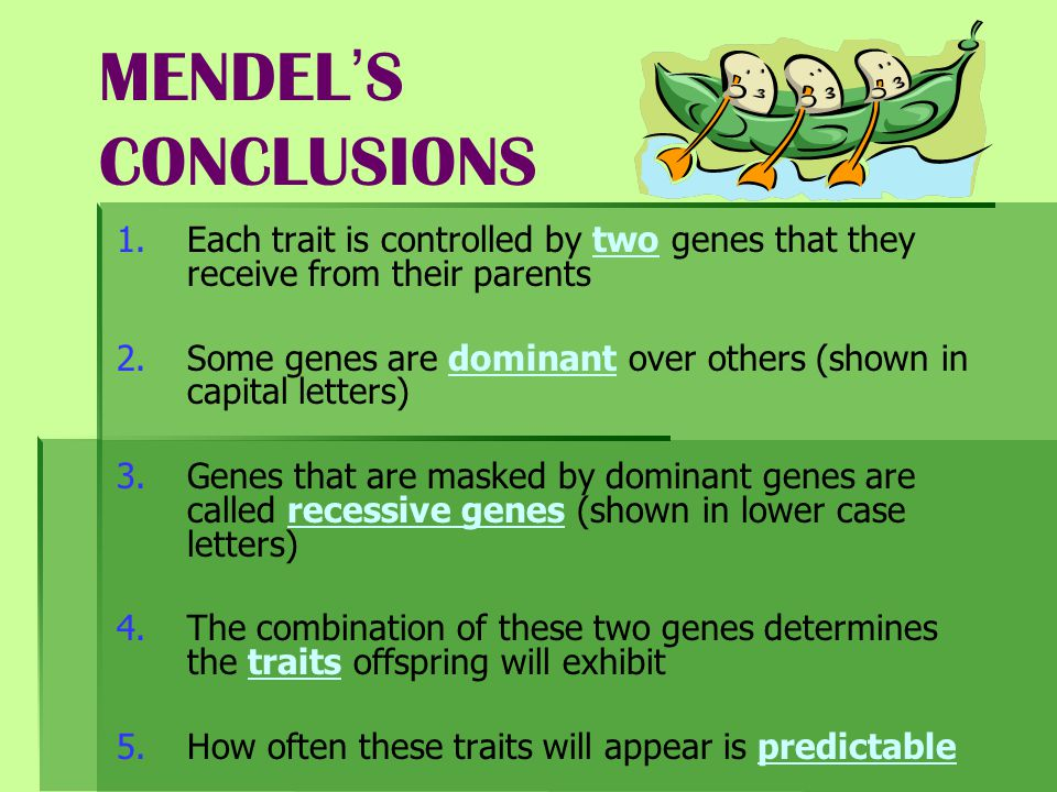 MENDEL'S CONCLUSIONS Each trait is controlled by two genes that they receive from their parents.