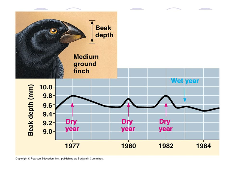 The work of Peter and Rosemary Grant with Galapagos finches represents another excellent example of directional natural selection. In this case, the selection pressure is a result of physical environmental factors, principally rainfall. The Grants documented a change in the shape of finch beaks as a function of available foods which is turn was a result of rainfall (physical limiting factor). In dry years, when thick seeds with hard coats were readily available, those finches with large, strong beaks increased their representation in the population. During wet years when more delicate seeds were available, those finches with the smaller and more manipulative beaks increased their percentage in the population/gene pool.