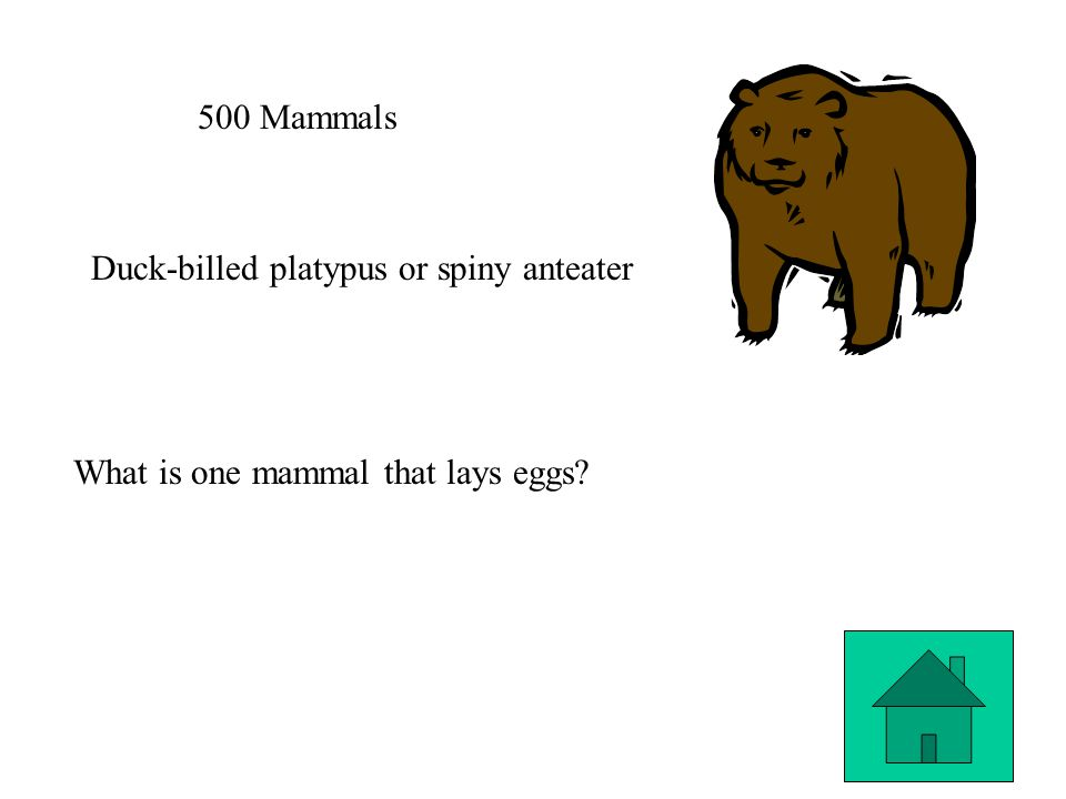 500 Mammals Duck-billed platypus or spiny anteater What is one mammal that lays eggs