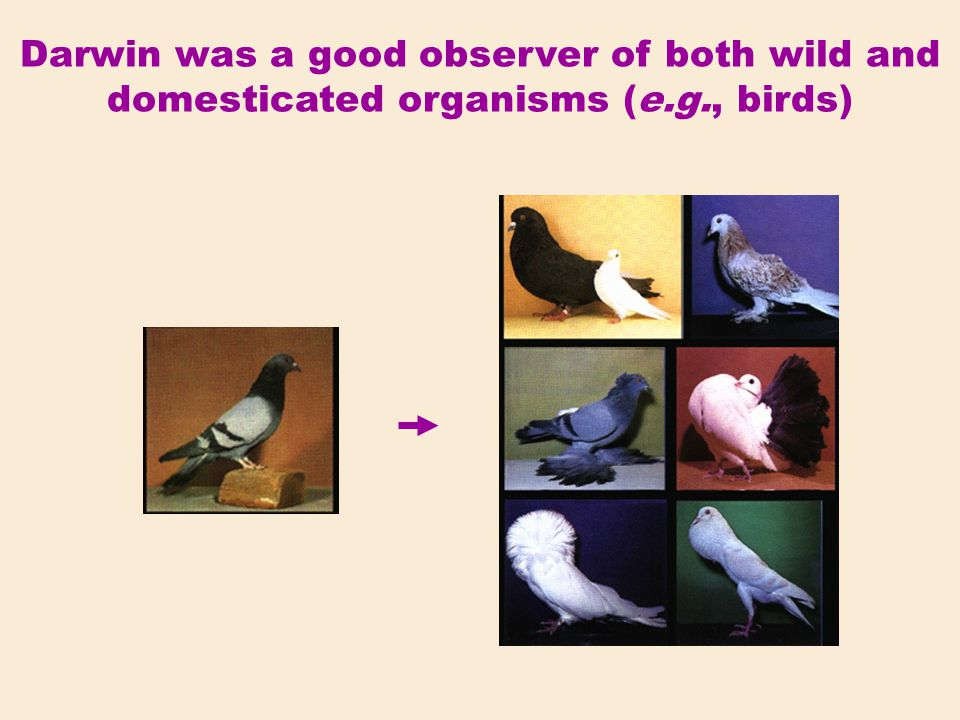 Darwin was a good observer of both wild and domesticated organisms (e