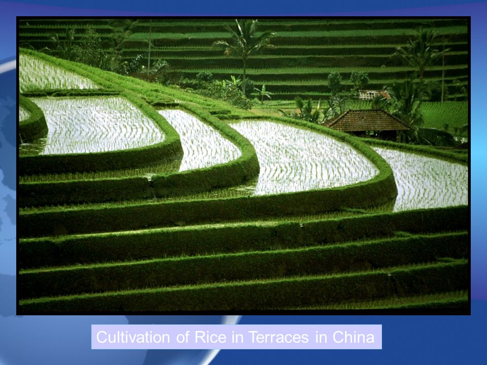Cultivation of Rice in Terraces in China