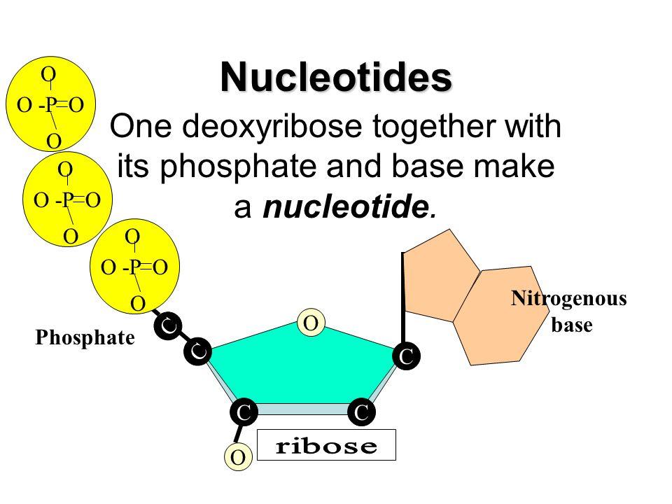 Nucleotides O -P O. O. One deoxyribose together with its phosphate and base make a nucleotide. O -P O.