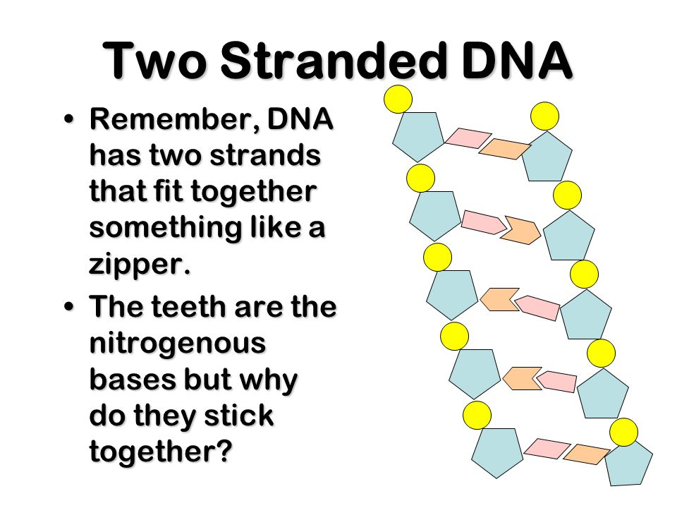 Two Stranded DNARemember, DNA has two strands that fit together something like a zipper.