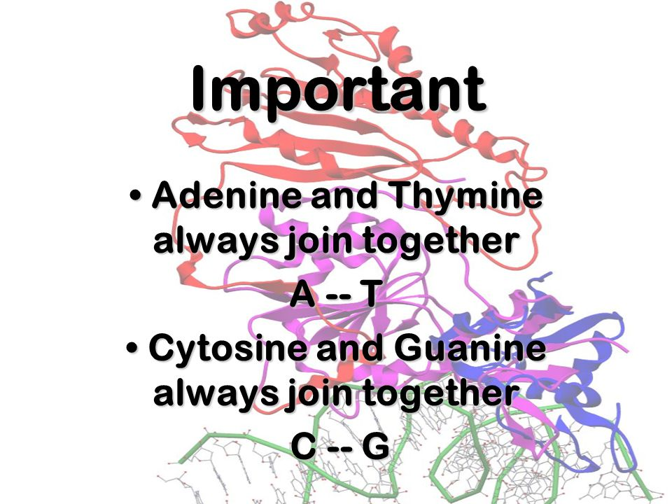Important Adenine and Thymine always join together A -- T
