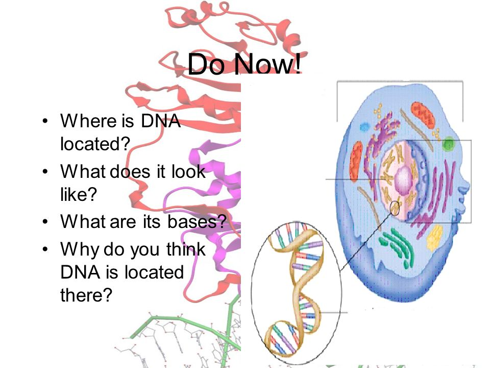 Do Now! Where is DNA located What does it look like
