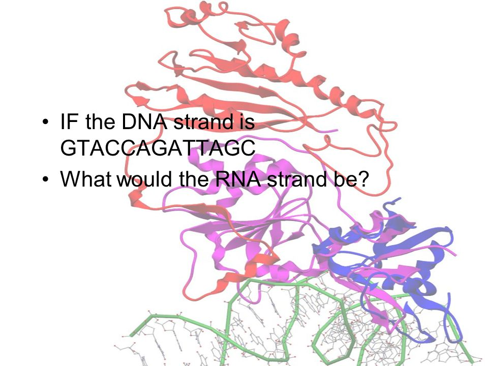 IF the DNA strand is GTACCAGATTAGC