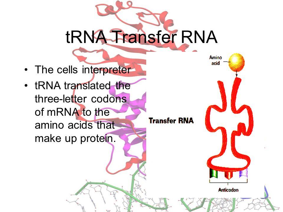tRNA Transfer RNA The cells interpreter
