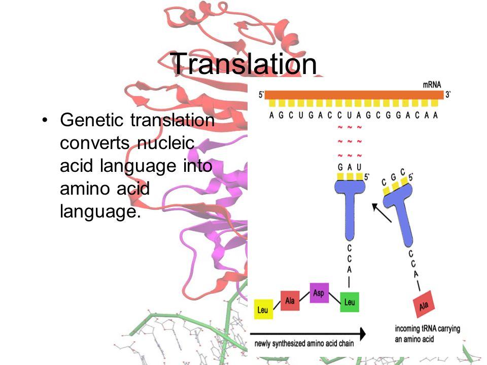 Translation Genetic translation converts nucleic acid language into amino acid language.