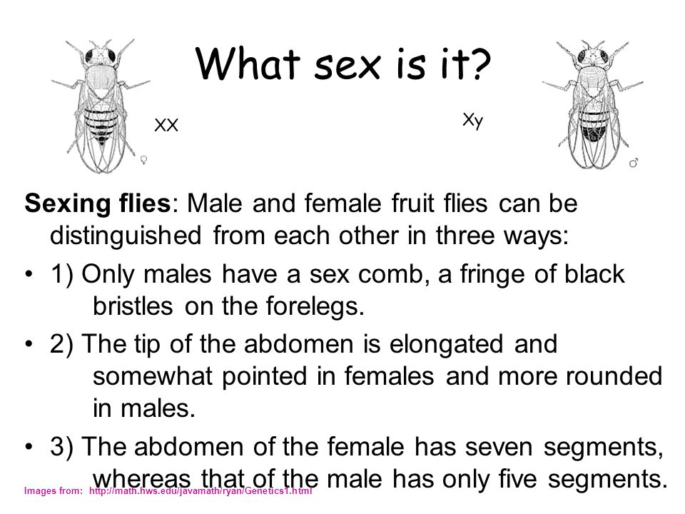 What sex is it Xy. XX. Sexing flies: Male and female fruit flies can be distinguished from each other in three ways: