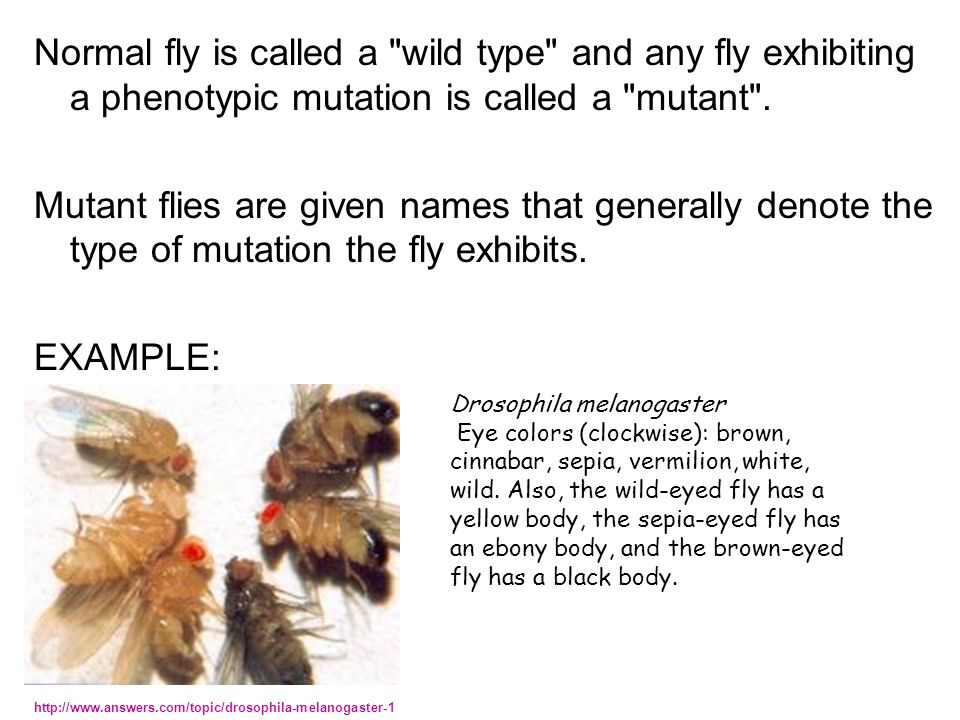 Normal fly is called a wild type and any fly exhibiting a phenotypic mutation is called a mutant .