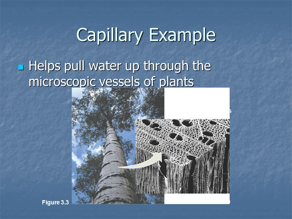Water conducting cells