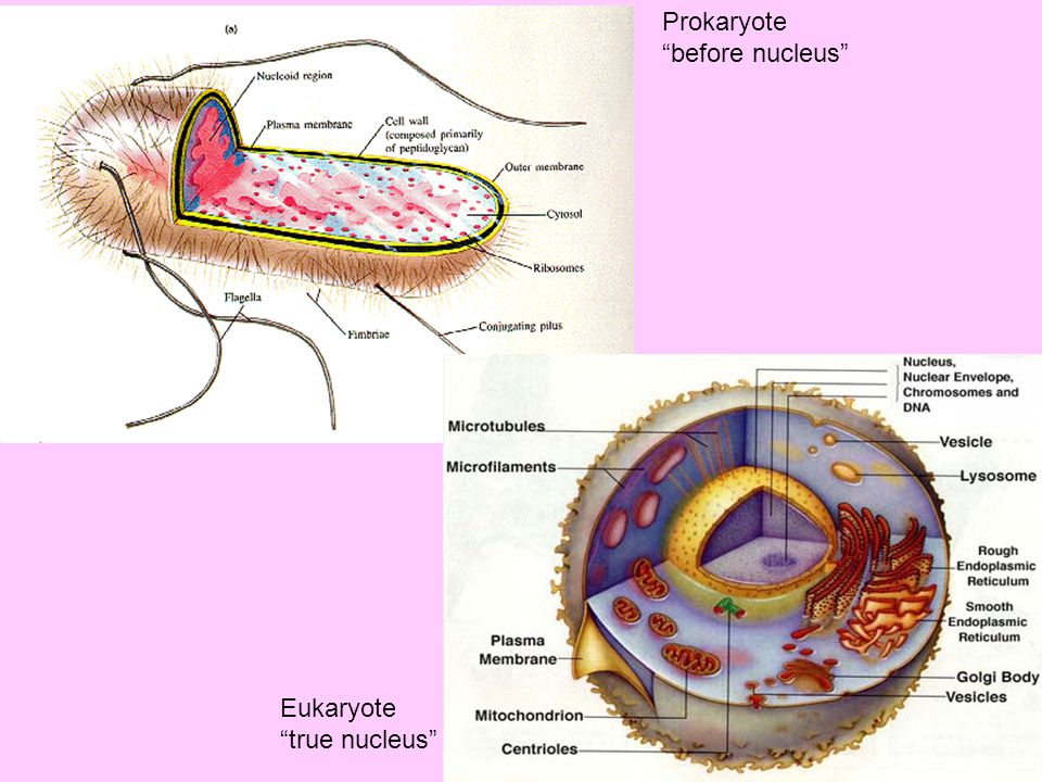 Prokaryote before nucleus Eukaryote true nucleus