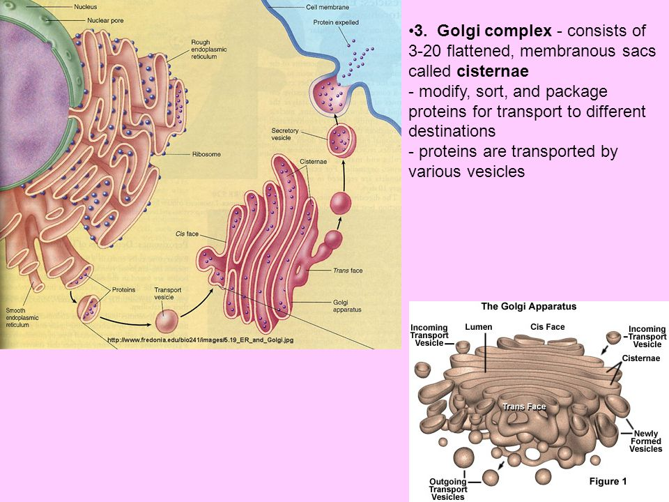 3. Golgi complex - consists of 3-20 flattened, membranous sacs called cisternae