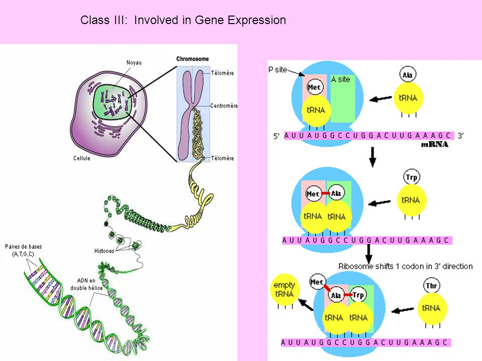 Class III: Involved in Gene Expression