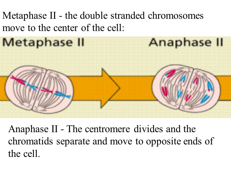 Metaphase II - the double stranded chromosomes move to the center of the cell: