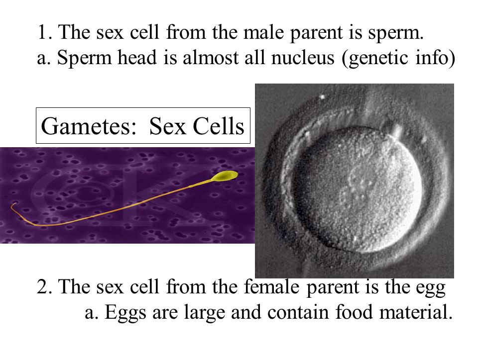Gametes: Sex Cells 1. The sex cell from the male parent is sperm.