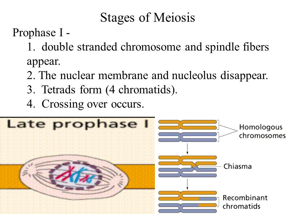 Stages of Meiosis Prophase I -