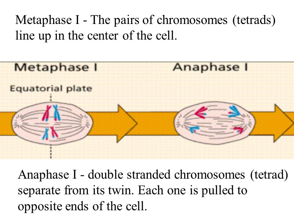 Metaphase I - The pairs of chromosomes (tetrads) line up in the center of the cell.