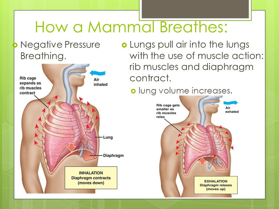 How a Mammal Breathes: Negative Pressure Breathing.