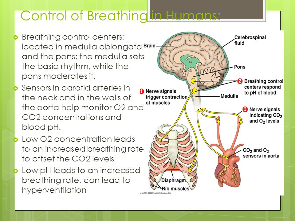 Control of Breathing in Humans: