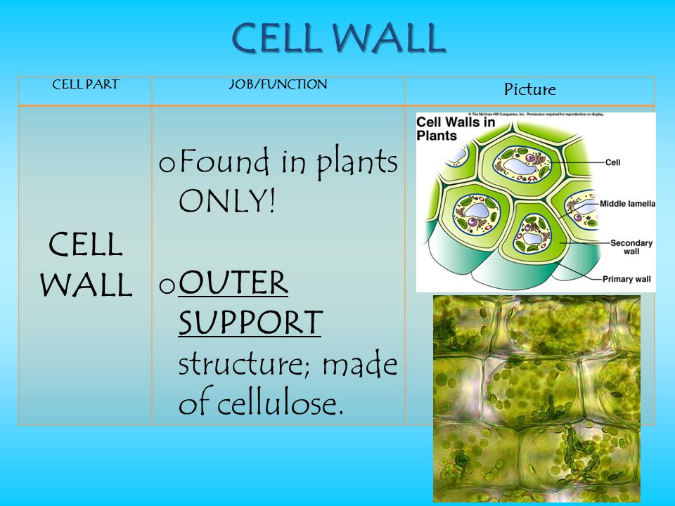 CELL WALL CELL WALL Found in plants ONLY!