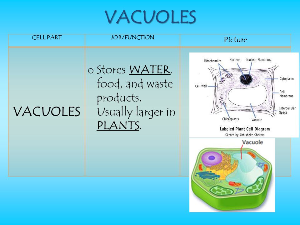 VACUOLES CELL PART. JOB/FUNCTION. Picture. VACUOLES.