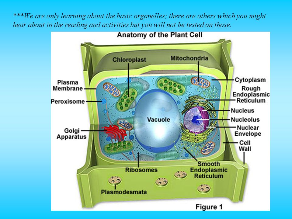 ***We are only learning about the basic organelles; there are others which you might hear about in the reading and activities but you will not be tested on those.