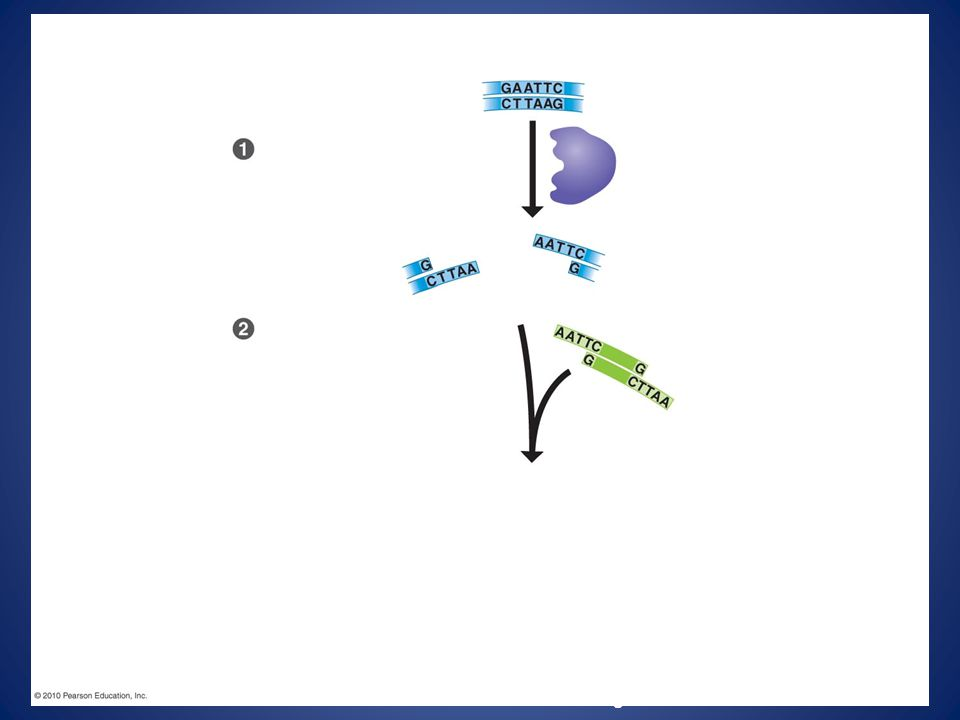 for a restriction enzyme