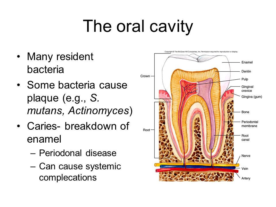 The oral cavity Many resident bacteria