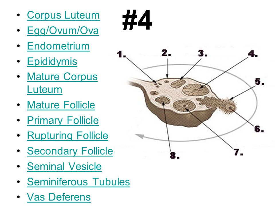 #4 Corpus Luteum Egg/Ovum/Ova Endometrium Epididymis