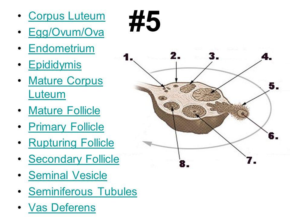 #5 Corpus Luteum Egg/Ovum/Ova Endometrium Epididymis