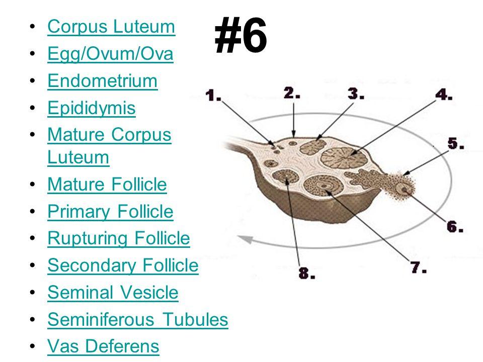 #6 Corpus Luteum Egg/Ovum/Ova Endometrium Epididymis