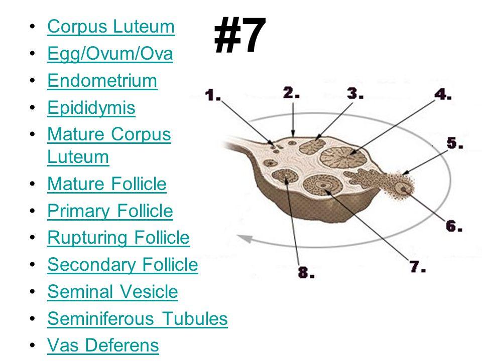 #7 Corpus Luteum Egg/Ovum/Ova Endometrium Epididymis