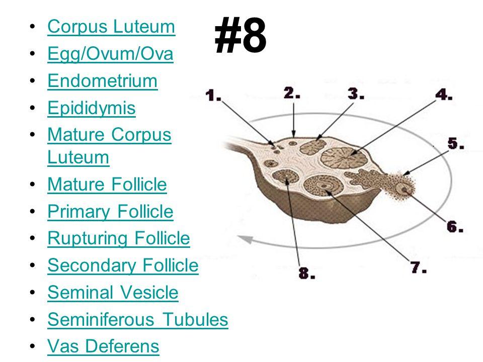 #8 Corpus Luteum Egg/Ovum/Ova Endometrium Epididymis