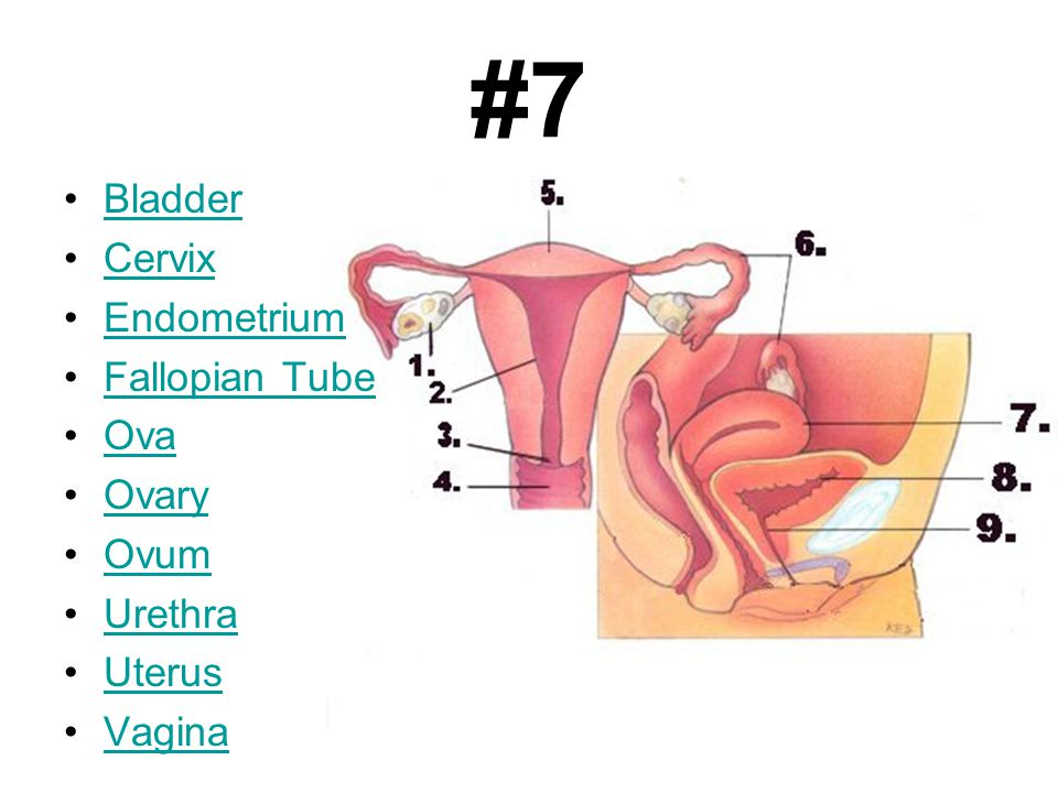 #7 Bladder Cervix Endometrium Fallopian Tube Ova Ovary Ovum Urethra