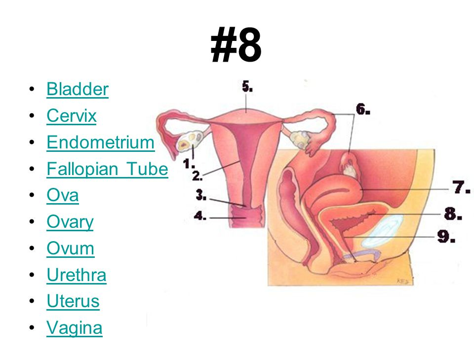 #8 Bladder Cervix Endometrium Fallopian Tube Ova Ovary Ovum Urethra