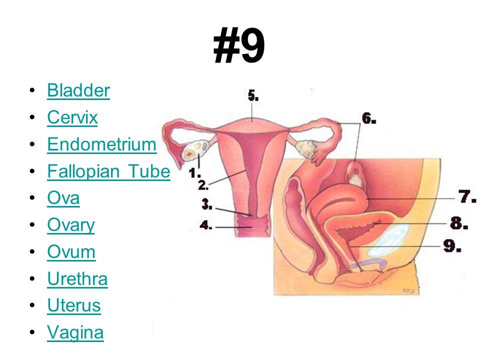 #9 Bladder Cervix Endometrium Fallopian Tube Ova Ovary Ovum Urethra