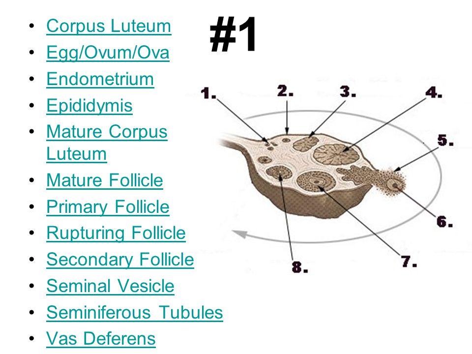 #1 Corpus Luteum Egg/Ovum/Ova Endometrium Epididymis