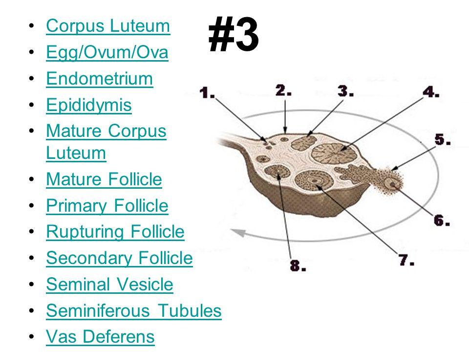 #3 Corpus Luteum Egg/Ovum/Ova Endometrium Epididymis