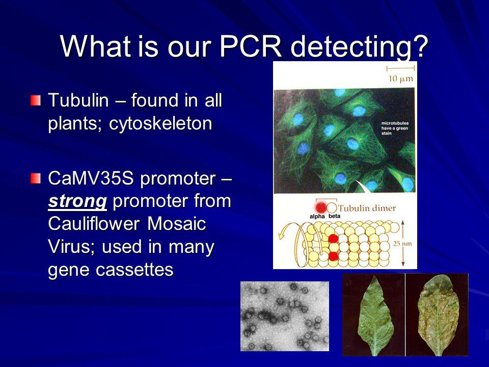 What is our PCR detecting