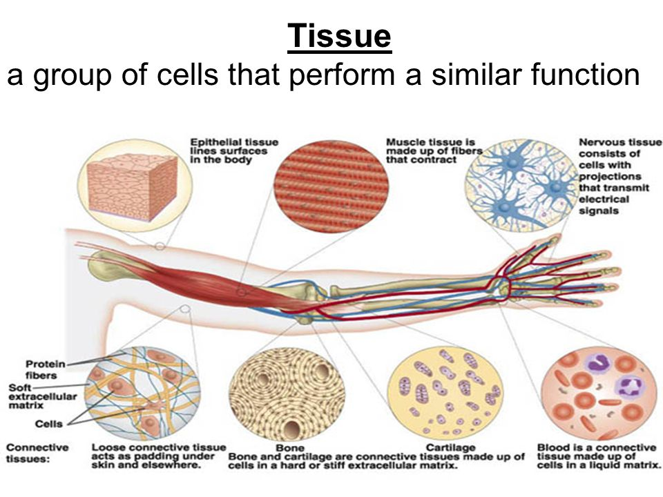 Tissue a group of cells that perform a similar function