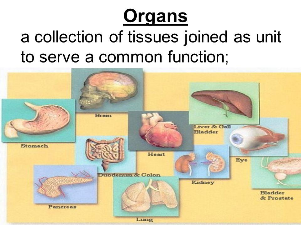 Organs a collection of tissues joined as unit to serve a common function;