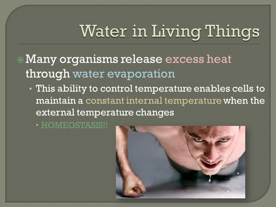 Water in Living Things Many organisms release excess heat through water evaporation.