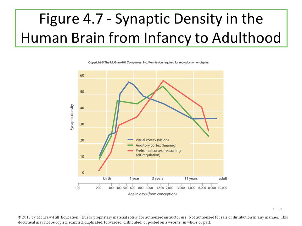 Figure 4.7 - Synaptic Density in the Human Brain from Infancy to Adulthood