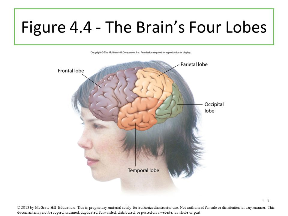 Figure 4.4 - The Brain's Four Lobes