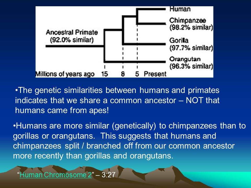 The genetic similarities between humans and primates indicates that we share a common ancestor – NOT that humans came from apes!
